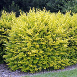 10 x Golden Privet / Ligustrum Ovalifolium Aureum, 20-40cm Supplied In a 9cm Pot