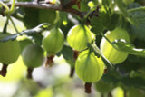 1 Green Gooseberry Plant/Ribes uva-crispa 'Invicta 60-90cm ready to fruit 2L Pot