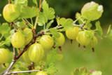 3 Yellow Gooseberry Plant /Uva Crispa Hinnonmaki' 2L Pots 60-90cm ready to fruit