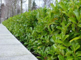 30 Cherry Laurel 3-4ft Multi-Stemmed Prunus Rotundifolia, In 3L Pots, Fast Growing Evergreen Hedging
