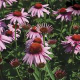 3 Echinacea Purpurea 'Magnus' / coneflower 'Magnus' In 2L Pots