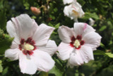 Lavatera Clementii Barnsley/ Tree mallow, In 2L Pot, Stunning Flowers
