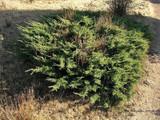 3 Juniperus Communis 'Repanda' Plants / Juniper 'Repanda' 20-25cm In a 2L Pots