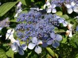 Hydrangea serrata 'Bluebird' In 2L Pot With Stunning, Blue Frowers