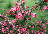 3 Escallonia 'Dart's Rosy Red' Evergreen Hedging Plants, In 1.5L Pots