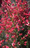 3 Red Broom - Cytisus x Praecox Hollandia Plants 25-30cm in 2L Pots