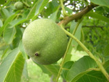 Large English Walnut Fruit Tree 4-5ft Tall, 5 Litre Pot,Grow Nuts,Juglans Regia