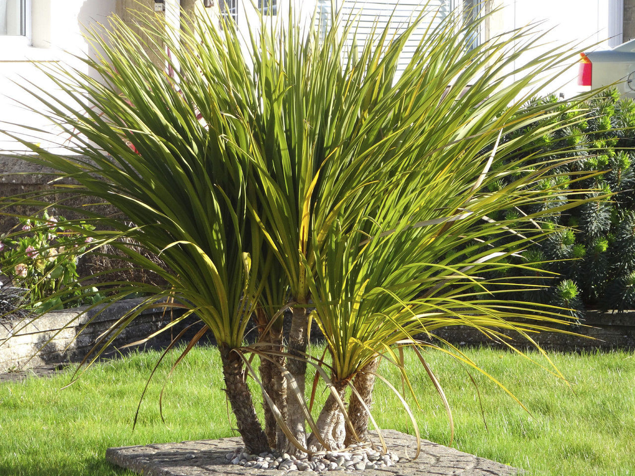 2 Cordyline Australis Plants Cabbage Palm Trees 4060cm Tall in