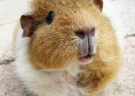 Guinea Pig's Dream Recipe