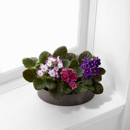 TheAfrican Violets bloom in shades of pink and purple to create an incredible gift for your special recipient. Three African Violet Plants displaying a varied assortment of colorful flowers amongst their dark green foliage are planted in a graphite o