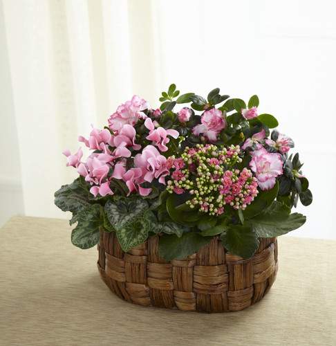 ThePink Assortment blushes with sweet blossoming beauty to convey your most heartfelt sentiments. A pink cyclamen plant, pink azalea plant and a pink calandiva plant are brought together in an oval woven banana leaf container to create a wonderful wa