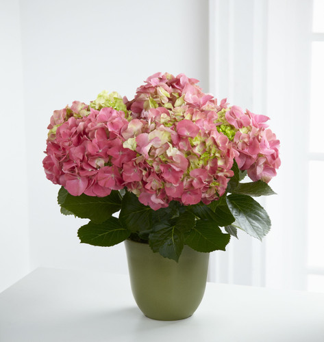 ThePink Hydrangea Planter is a perfectly pink way to extend your warmest wishes! A stunning hydrangea plant displays a profusion of blushing blooms presented in a green biodegradable container accented with a red satin ribbon to create a beautiful wa