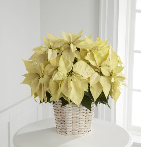 TheWhite Poinsettia Basket (Large)