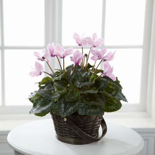 ThePink Cyclamen blooms with an exquisite beauty to create an incredible gift for your special recipient. Boasting beautiful blushing blooms, this pink cyclamen plant arrives seated in a dark round woodchip handled basket to create the perfect way to