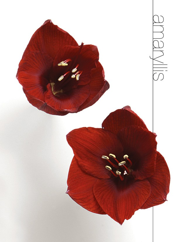 Flower meanings flower meanings amaryllis flower mightylinksfo Image collections