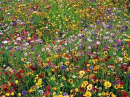 Western Wildflower Mix - Wildflower Seed Mix