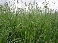 Potomac Orchardgrass