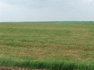 Giant Bermudagrass