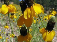 Yellow Prarie Coneflower