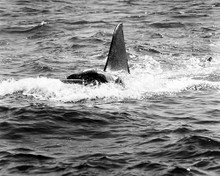 This is an image of Photograph & Poster of Jaws 199556