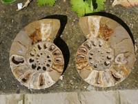 Nautilus pair (1342691866)