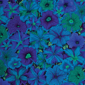 Philip Jacobs PWPJ050 Petunias Blue Cotton Quilting Fabric By Yard