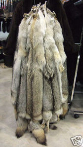 "Coyote Fur Skins / Pelts, 45"" length, plus 14""-16"" tail"