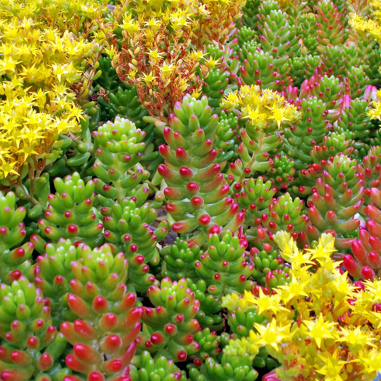Sedum Rubrotinctum Jelly Bean Pork And Beans Mountain Crest Gardens