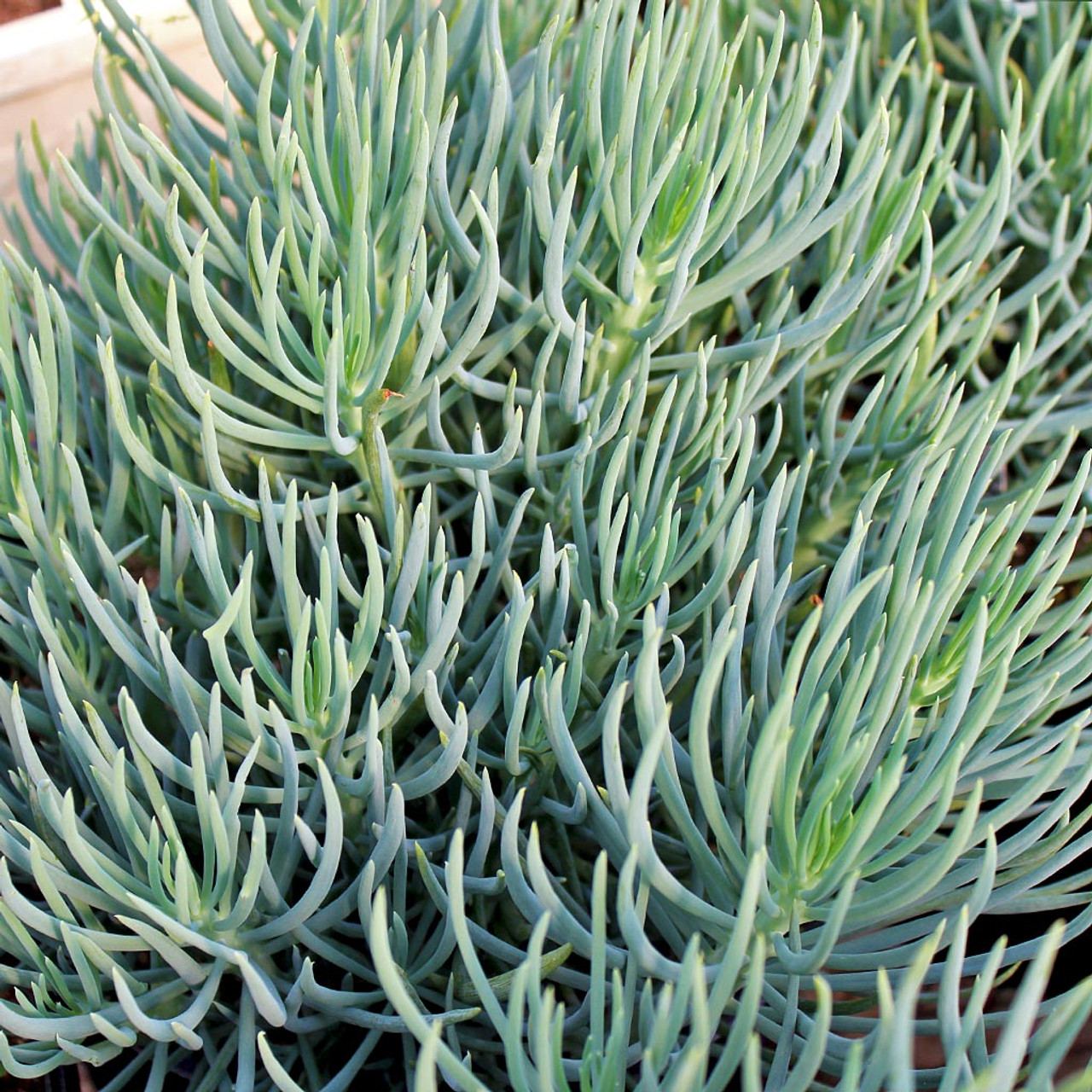 Blue chalk sticks plant - Senecio Vitalis Serpents Blue Chalk Fingers