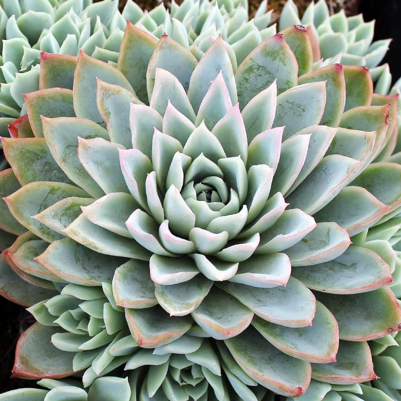 Echeveria Violet Queen Mountain Crest Gardens