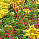 Sedum rubrotinctum - Jelly Bean, Pork and Beans