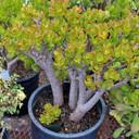 """Size comparison - Large shrub in 3 gallon pot vs. the 2.5"""" pot"""