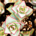 Crassula conjuncta - Ivory Towers - 2in Pot - September