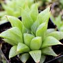 Haworthia turgida (laetevirens)