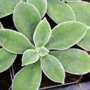 Echeveria pulvinata - winter