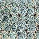 Bulk Succulent Tray - 1.5in Plugs - Choose Your Variety (36)  - Glauca