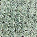 Bulk Succulent Tray - 1.5in Plugs - Choose Your Variety (36)  - Fleur Blanc