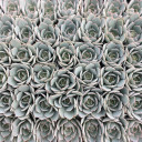 Bulk Succulent Tray - 1.5in Plugs - Choose Your Variety (36) - Morning Beauty