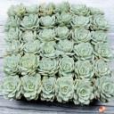 Bulk Succulent Tray - Fleur Blanc - Tray as Shipped
