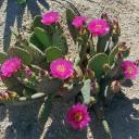 Opuntia 'Coomb's Winter Glow'- Bloom 2