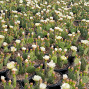 Opuntia rhodantha 'Snowball' - Bloom 3