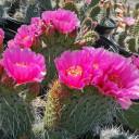 Opuntia 'Fiesta' Prickly Pear - Bloom 1