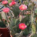 Opuntia 'Desert Skies' Prickly Pear - Bloom 2
