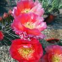 Opuntia 'Desert Skies' Prickly Pear - Bloom 1