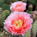 Opuntia 'Orange Chiffon' - Bloom