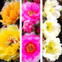 Waterwise Botanicals® Opuntia Cactus Collection - Blooms