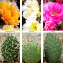 Waterwise Botanicals® Opuntia Cactus Collection - Varieties