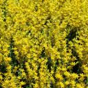 Sedum sexangulare - Summer Blooms