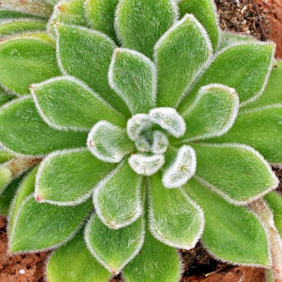 Echeveria 'Doris Taylor'