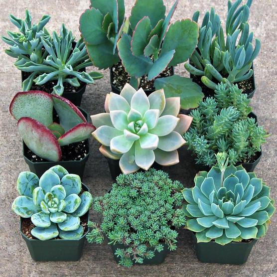 Blue Succulent Collection - Large (9)
